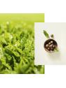 Beauty Green Tea arclemosó öszetevő