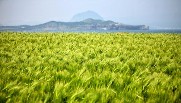 Zöldárpa ültetvény Jeju, Gapa-sziget