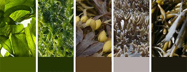 Petitfée Agave Cooling szemmaszk alga komplex